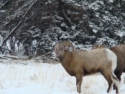 big horn ram during rutting season in jasper national park