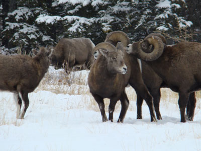 big horn sheep rut in jasper national park