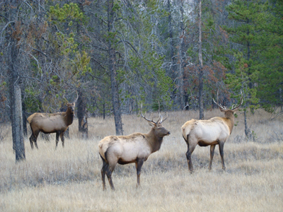 three young bull elk in jasper national park