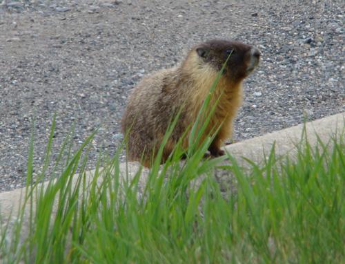 marvin the marmot