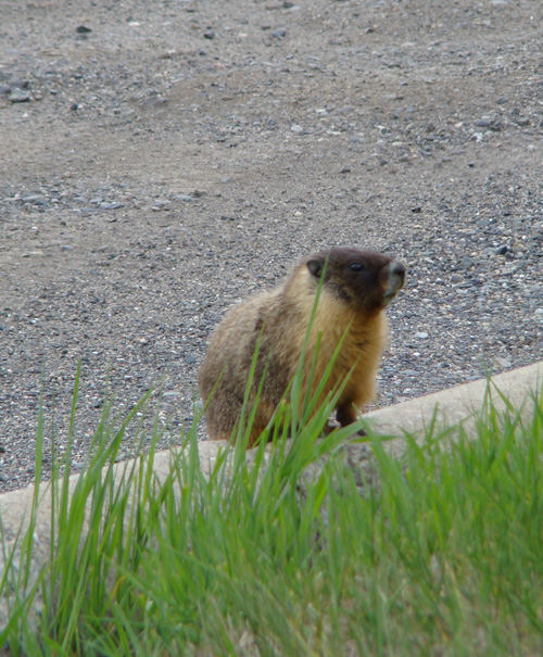 a marmot in 100 Mile House BC