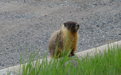 marmot from 100 mile house british columbia canada