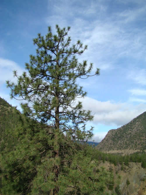 Pine tree against a blue clouded sky near Lillooet BC