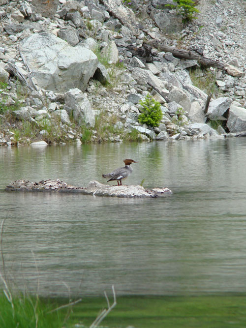A merganser waits patiently for a school of trout fry to swim by to eat